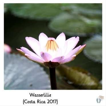 Wasserlilie {Costa Rica 2017}