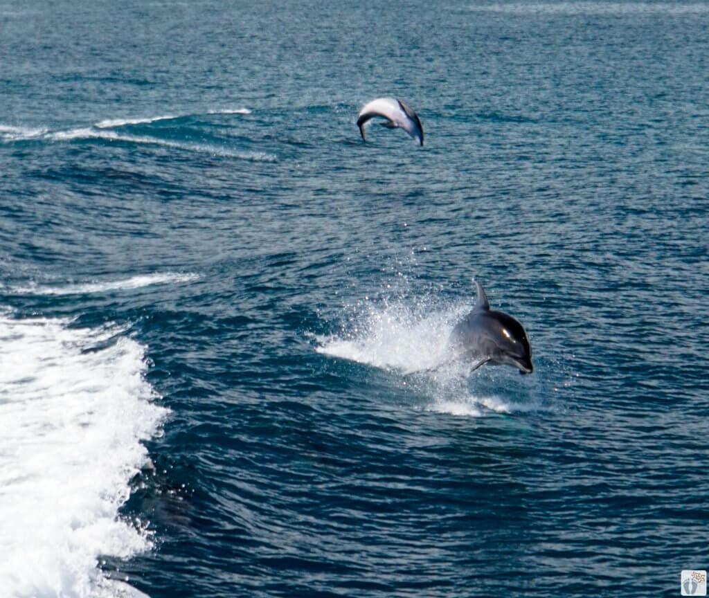 Großer Tümmler (Bottlenose Dolphin) {Reisetagebuch «Roadtrip durch Neuseeland mit dem Bus»: Bay of Islands}