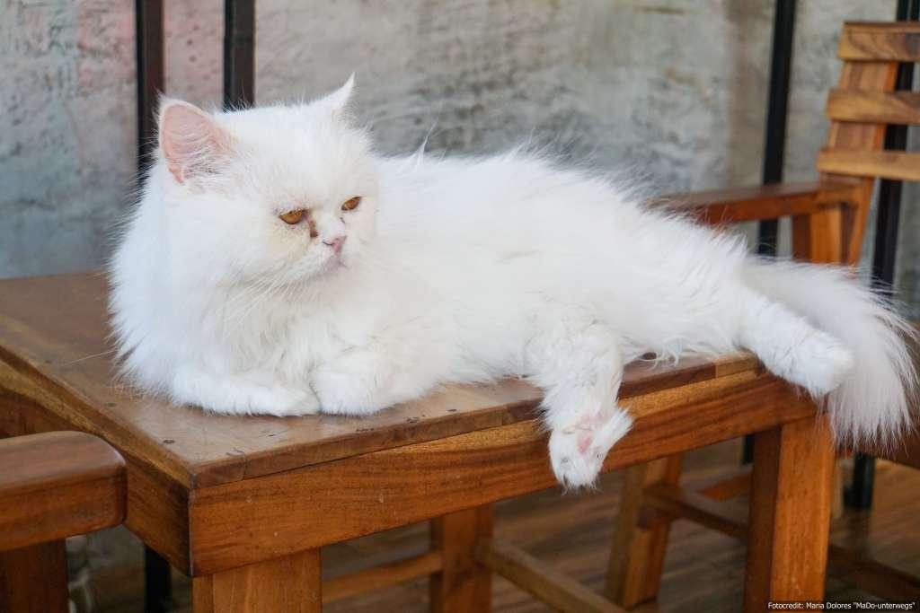 weiße Katze auf einem Tisch im Cat 'n' a Cup Café in Chiang Rai (Reisetagebuch «Thailand als Alleinreisende ohne Roller entdecken»)