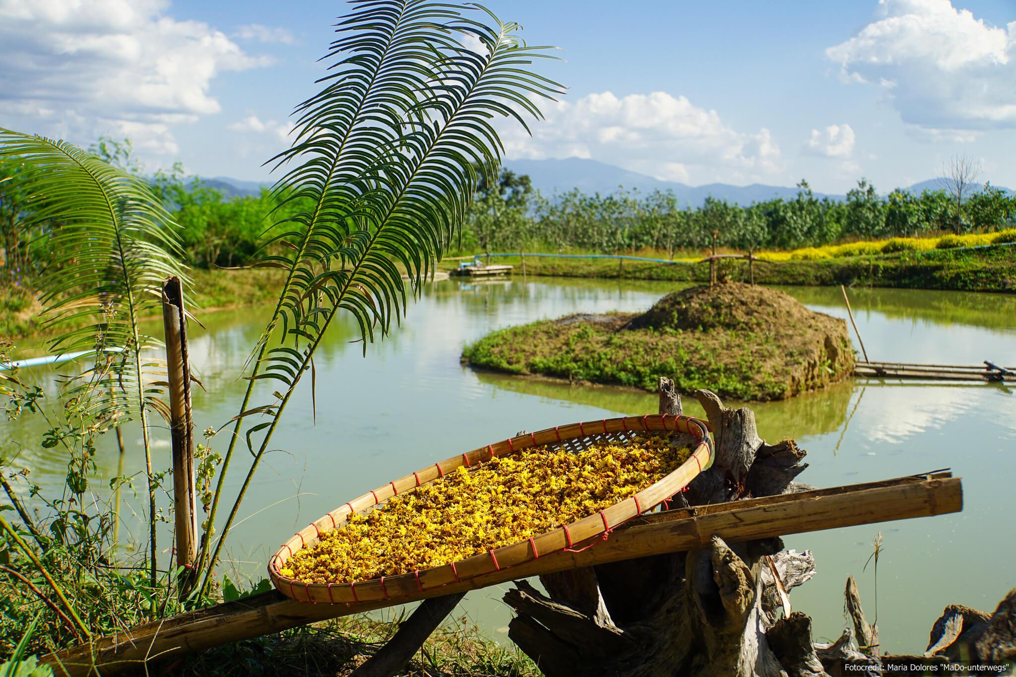 chinese village (chinesisches Dorf Santichon) in der Nähe von Pai - Chrysanthemen trocknen (Reisetagebuch «Thailand als Alleinreisende ohne Roller entdecken»)