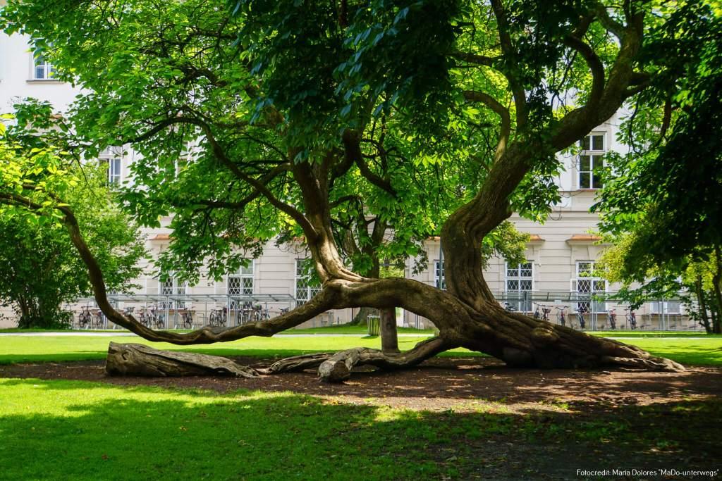 Baum im Mirabellgarten [10 Tage Roadtrip Salzburg]