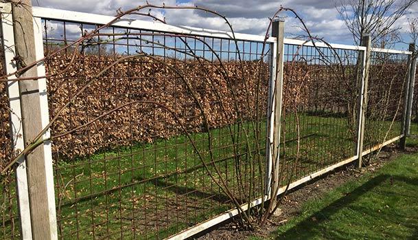 Brombær busk efter beskæring