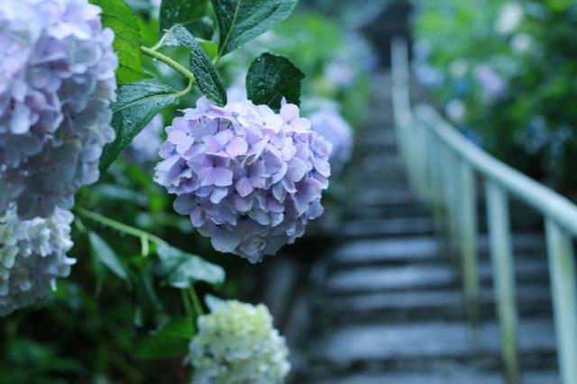 吉備津神社岩山宮の紫陽花