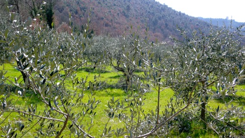 olive trees just after pruning
