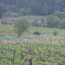 Day 6 - Massiac vineyard 2