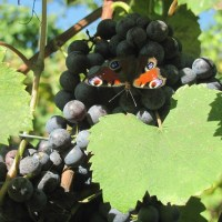 conti vineyard visiting moth