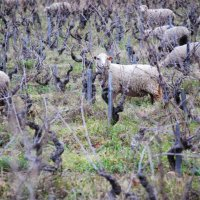 sheep in the vineyard = efficient maintenance thereof