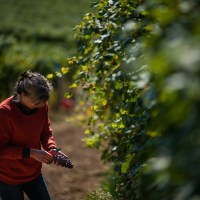 woman-in-vineyard