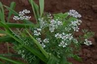 Coriander in bloom.