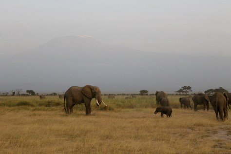 The elephants look small with the mountain in the background.