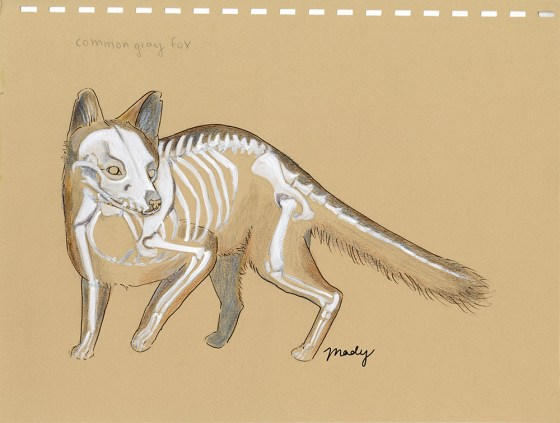 Gray Fox Skeleton, Colored pencil and white gouache on toned paper, 2019