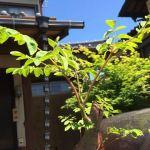 【奇跡の木】あなたもマルンガイ(モリンガ)の苗を育ててみませんか?