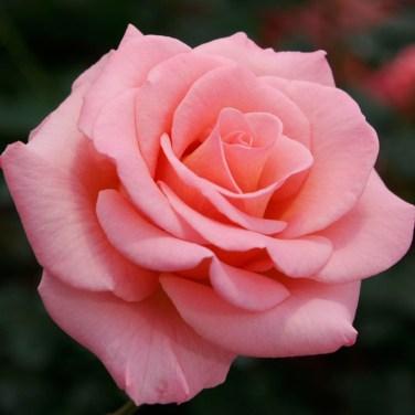 hybrid-rose-pink