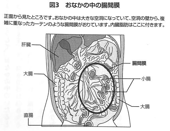 図3 おなかの中の腸間膜 内臓脂肪を最速で落とす 第1章