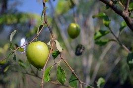 พุทราจีน | Empress Serena's absolute favorite fruit, of which she requires two per day. Minimum.