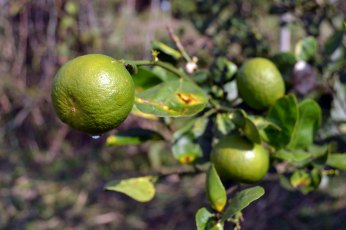 มะนาว | A staple in the Thai kitchen, the limes we pick from the tree are so fresh that the citrus oil rubs off on your hands. We also grow kaffir limes (มะกรูด) but don't have any on the tree at the moment.