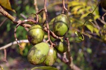 มะกอกฝรั่ง | A native of Polynesia, the ambarella is a crunchy, slightly sour fruit. It tastes better than it looks!