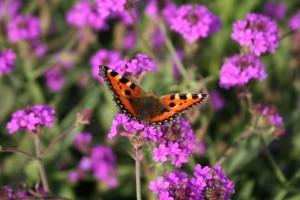 Schmetterling auf Blütenblueten