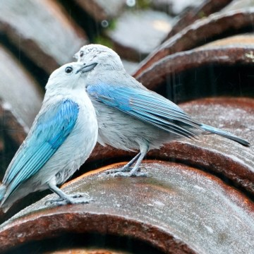 Tanager couple