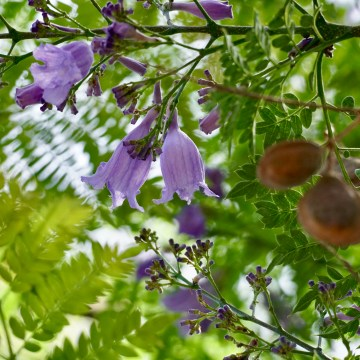 A detail photo from a jacaranda tree branch with purple blossoms and brown seed pods surrounded in greenery