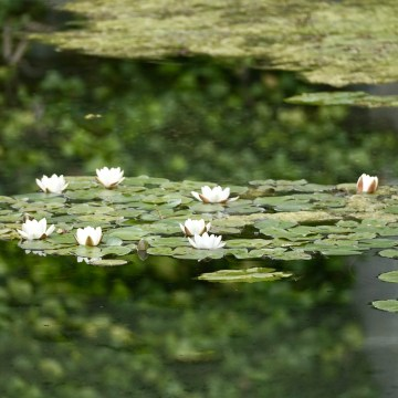 White water lilies with mirror reflection of trees and stone fountain