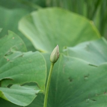 An unopened lotus blossom surrounded by green lotus leaves