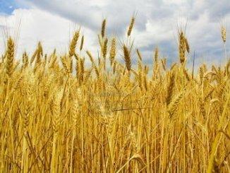 Martedì ad Alessandria seminario sulla competitività nei sistemi cerealicoli CorriereAl