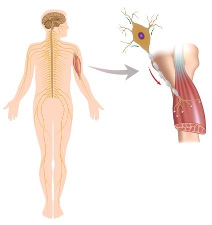 17588316 - motor neuron controls muscle movement