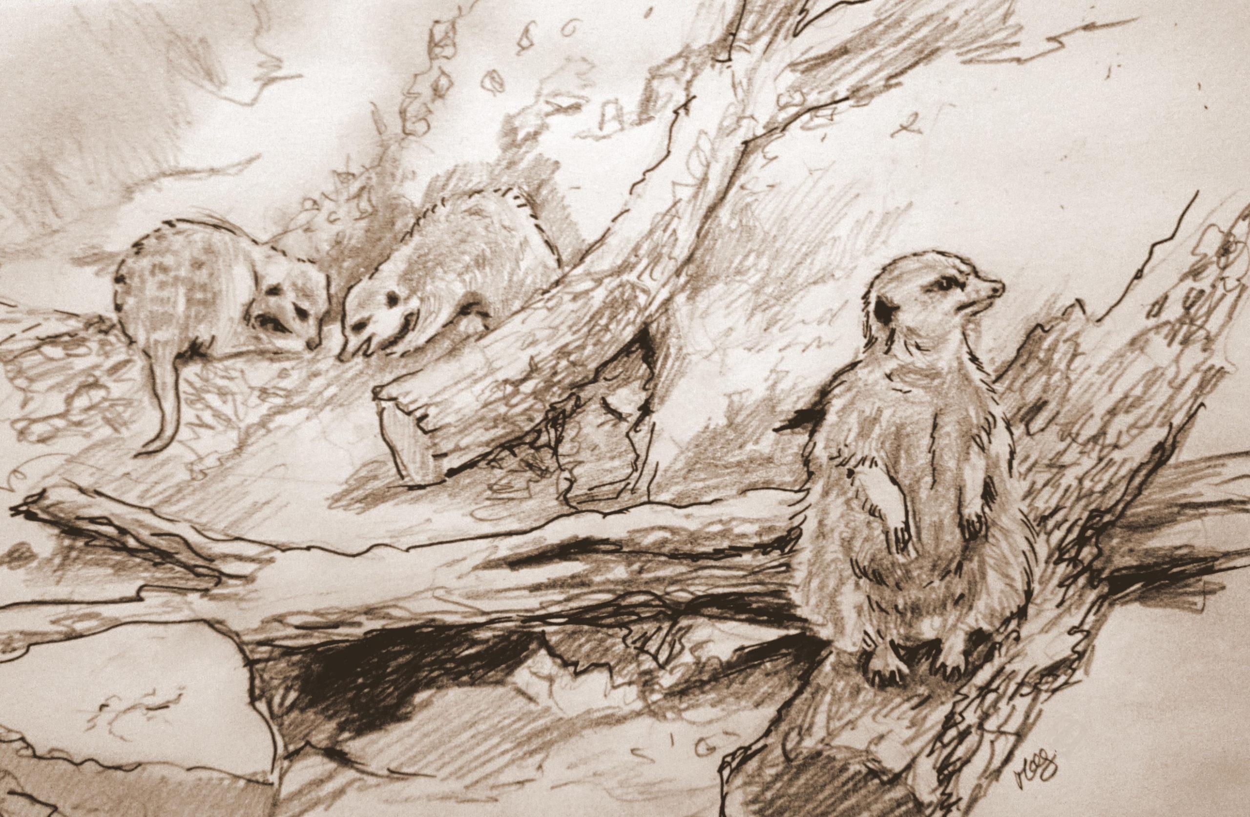 Meerkats study