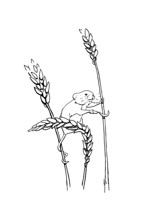 Ink drawing of a harvest mouse harvesting cereals