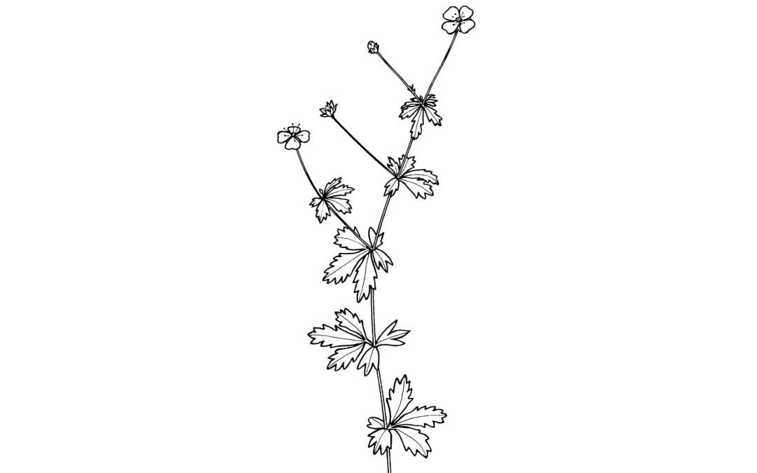 Botaniske illustrasjoner – en krysning mellom kunst og vitenskap