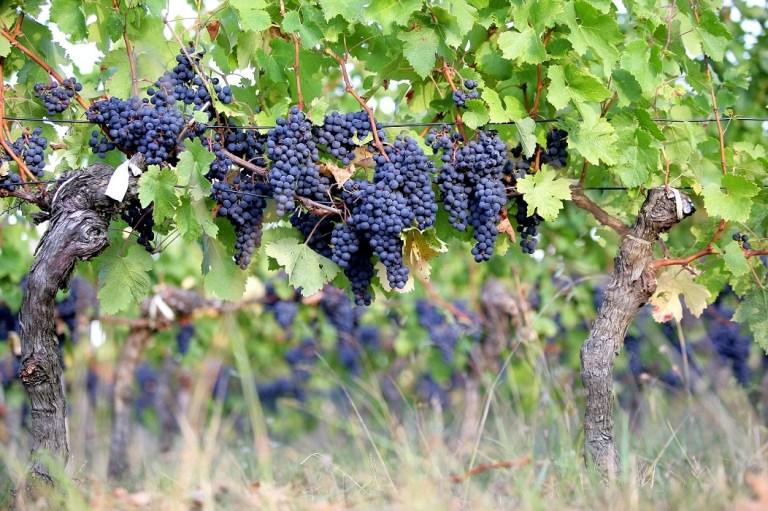Die goddelijke wijn: hoe het begon