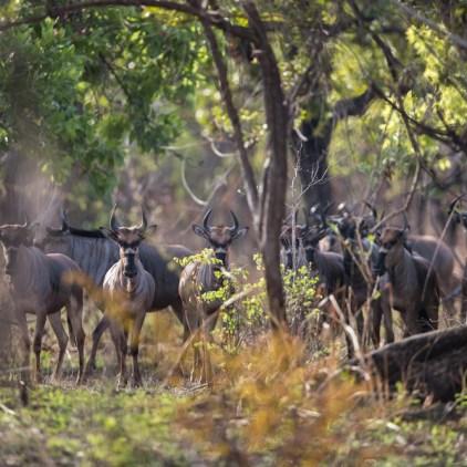 Niassa wildebeest, endemic to Niassa © Will Burrard-Lucas
