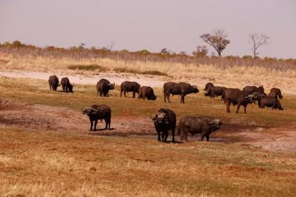 Buffaloes Botswana Kalahari