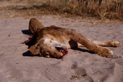 Road kill lion