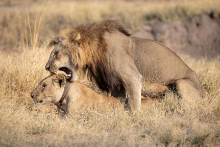 Lion mating with lioness © Edward Selfe
