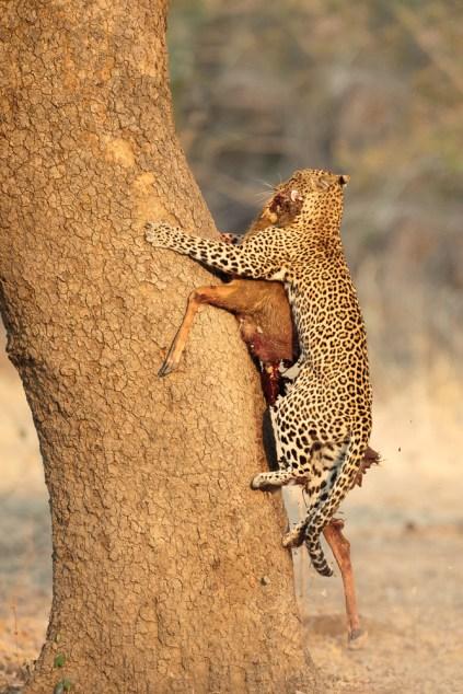 Leopard dragging it's prey up the tree
