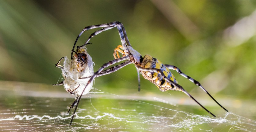A female golden orb spider devours her male, who says romance is dead? © Sam Cox