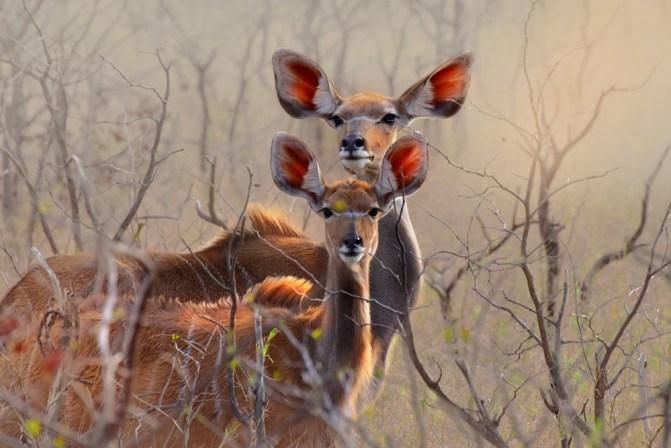 Kudu in Kruger National Park, South Africa