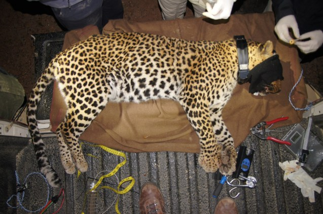 A leopard with a GPS collar fitted