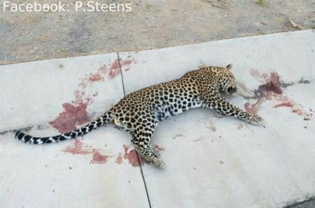 Cape Leopard road kill