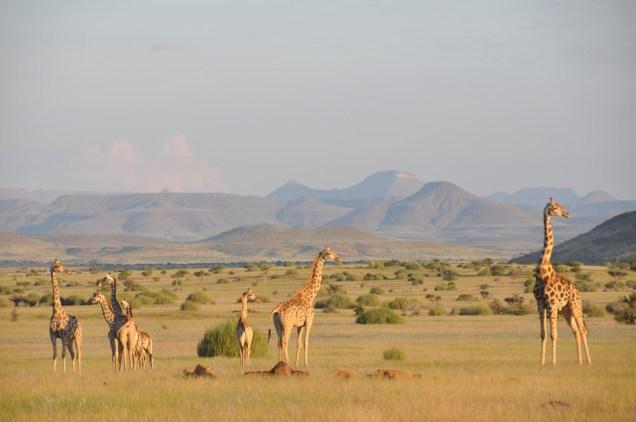Angolan-giraffe-herd-in-Damaraland