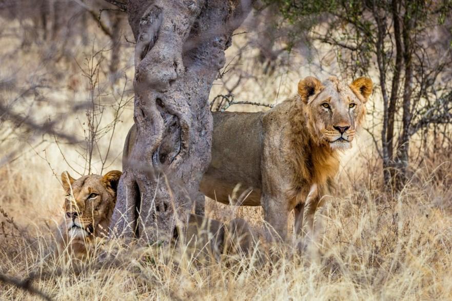Lions in Amboseli