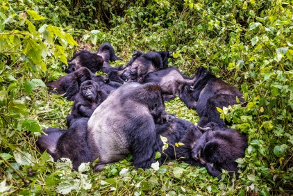 Grauer's gorilla family in the forest