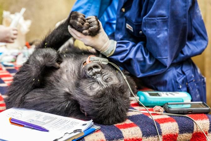 Gorilla undergoing health check