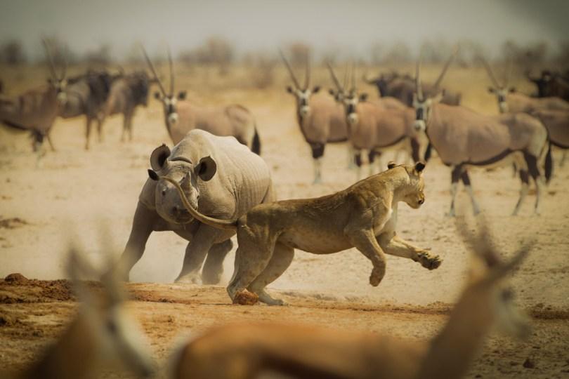 Simone-Basini-Black-Rhino-chasing-away-a-curios-lioness-Namibia