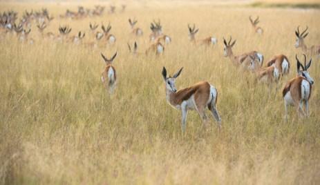 Springbok-at--Fishers-Pan-©-Anja-Denk
