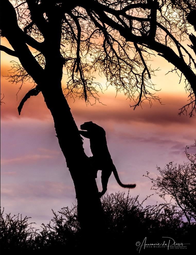 leopard © Annemarie du Plessis