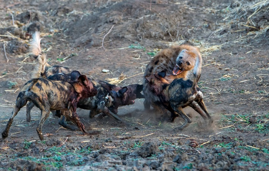 Painted wolves fighting a hyena