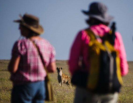 Hyena looking at walking safari guests